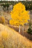Одиночный желтый Aspen Стоковые Фото