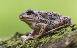 Одиночный конец 9 вверх по fuscus Pelobates spadefoot европейца жабы общему от Украины стоковые фото