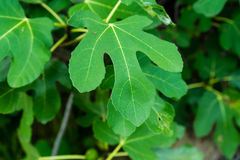 Одиночный конец лист тутовые смоквы вверх по славному зеленому цвету Стоковые Фото