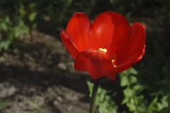 Одиночный красный мак в желтом цвете они стоковое изображение