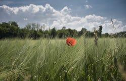 Одиночный мак в зеленое кукурузное поле стоковое фото rf