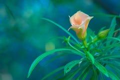 Одиночный милый цветок персика, предусматриванный с падениями дождя от ливня раннего утра, в тайском парке сада Стоковые Фото