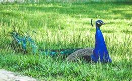 Одиночный мужской павлин с кабелем сидя на зеленой траве стоковые фото