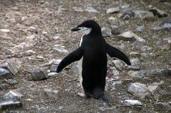 Одиночный пингвин chinstrap стоковые фото