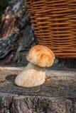 Одиночный подосиновик гриба porcini edulis, porcino или bolete короля Стоковые Фото