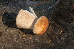 Одиночный подосиновик гриба porcini edulis, porcino или bolete короля Стоковая Фотография