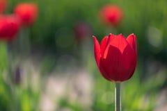 Одиночный подсвеченный красный тюльпан Стоковые Фотографии RF