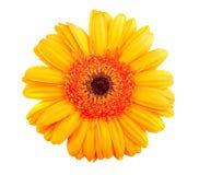 Одиночный померанцовый цветок gerbera Стоковая Фотография