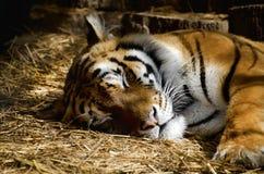 Одиночный портрет тигра Стоковые Изображения RF