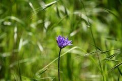 Одиночный пурпурный крупный план цветка в поле стоковые фотографии rf