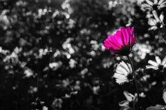 Одиночный розовый космос стоя вне от предпосылки нерезкости черно-белой Стоковое Фото