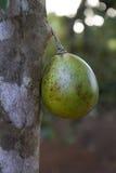 Одиночный свежий плодоовощ Feijoa Стоковые Фотографии RF