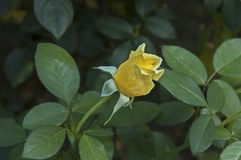 Одиночный свежий цветок цветеня розы желтого цвета в саде Стоковые Фотографии RF