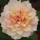 Одиночный свет - розовая приемная сетка Стоковое Изображение