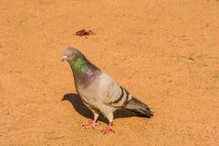 Одиночный серый голубь утеса на вымощенной дорожке Стоковое фото RF