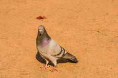 Одиночный серый голубь утеса на вымощенной дорожке Стоковая Фотография