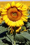 одиночный солнцецвет Стоковое Фото