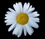 Одиночный стоцвет Стоковые Фото