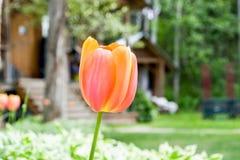 Одиночный тюльпан весной Стоковое фото RF