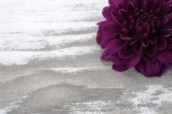 Одиночный фиолетовый цветок мамы на побеленной деревянной предпосылке Стоковые Изображения