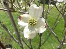 Одиночный цветок кизила Стоковые Изображения
