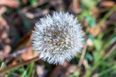 Одиночный цветок одуванчика на осени Стоковые Изображения RF