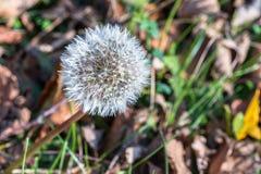 Одиночный цветок одуванчика на осени Стоковое Изображение