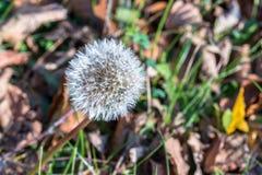 Одиночный цветок одуванчика на осени Стоковое Фото