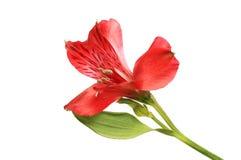 Одиночный цветок alstroemeria стоковые фото