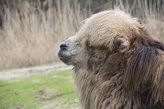 Одиночный bactrian верблюд Стоковая Фотография