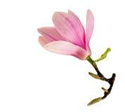 Одиночный Magnolia Стоковые Изображения RF