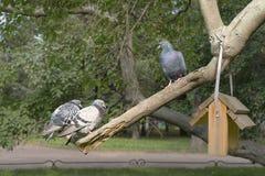 Один голубь смотрит вниз на другие 2 стоковое изображение rf