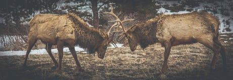 Один другого самца оленя бросая вызов для стоковое фото rf