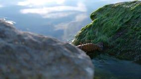 Один европейский рак реки на камне с зелеными водорослями спускает в воду сток-видео