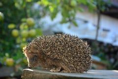 Один еж в саде стоковое фото rf