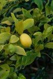 Один желтый плодоовощ лимона на ветви Стоковое Изображение RF