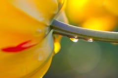 Один желтый тюльпан Стоковая Фотография RF