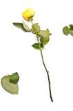 один желтый цвет розы Стоковая Фотография RF