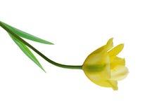один желтый цвет тюльпана Стоковая Фотография RF