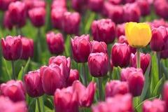 один желтый цвет тюльпанов лиловый Стоковое Фото