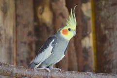 Один желт-серый Cockatiel стоковые фотографии rf