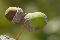 Один зеленый жолудь и одна коричневая деталь жолудя Стоковые Изображения RF