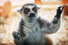 Один злий недостаточный лемур, после экспериментов на животных стоковое изображение rf