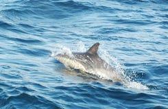 один играть дельфина Стоковая Фотография RF