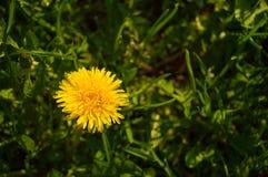 Один конец-вверх одуванчика в траве стоковое изображение rf