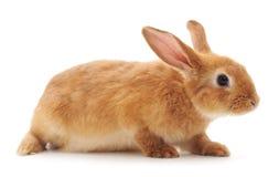 Один коричневый кролик Стоковое Фото