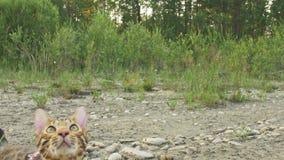 Один кот Бенгалия идет на зеленую траву Киска Бенгалии учит идти вдоль попыток кота леопарда леса азиатских для того чтобы спрята видеоматериал