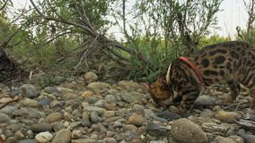 Один кот Бенгалия идет на зеленую траву Киска Бенгалии учит идти вдоль попыток кота леопарда леса азиатских для того чтобы спрята акции видеоматериалы