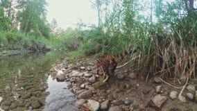 Один кот Бенгалия идет на зеленую траву Киска Бенгалии учит идти вдоль попыток кота леопарда леса азиатских для того чтобы спрята сток-видео
