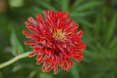 Один красивый красный цветок Природа пышна Стоковое Изображение RF